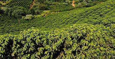 field of coffee